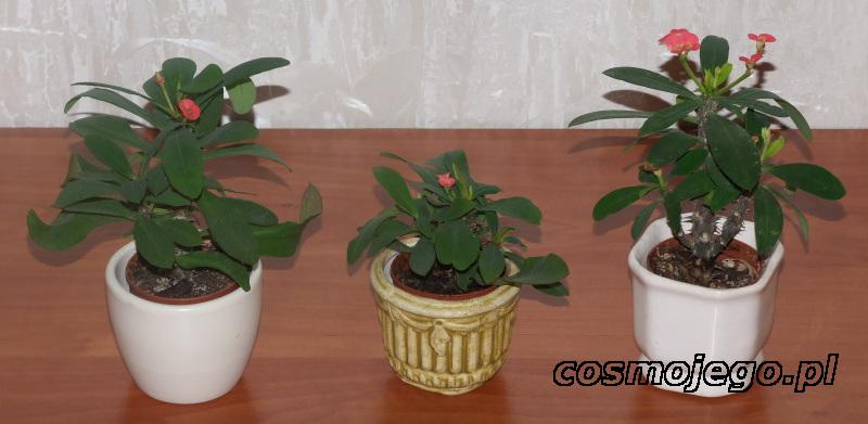 Euphorbia milli, wilczomlecz lśniący