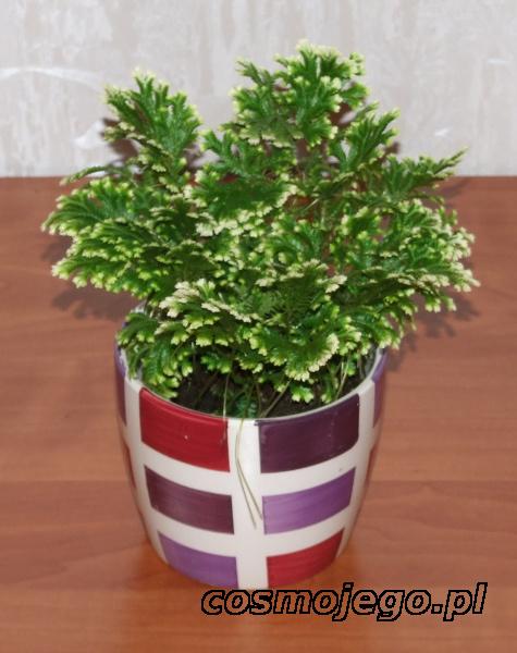 Widliczka (Selaginella)