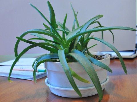 Aloes drzewiasty (Aloe arborescens )