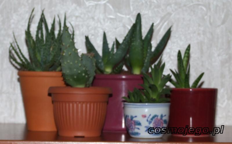 Aloesy - między innymi - niski, ościsty, pasiasty