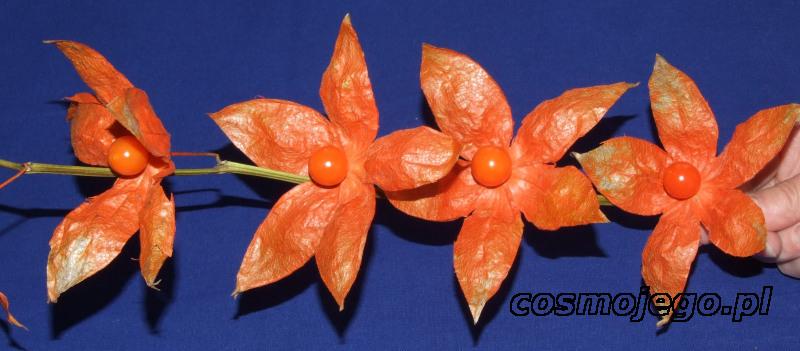 Gałązka miechunki z owocami zamienionymi w kwiaty