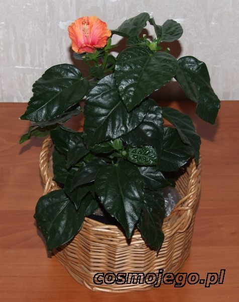 Hibiskus, Róża chińska