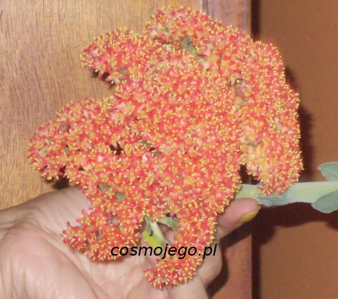 Atrakcyjny kwiat grubosza szablastego