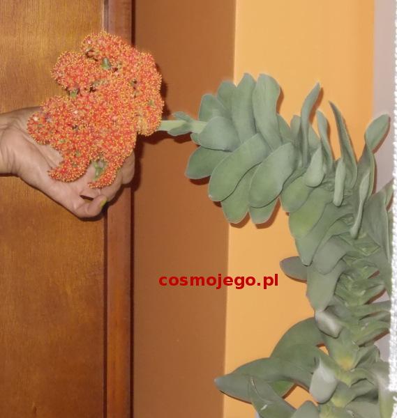 Pachnący kwiat grubosza