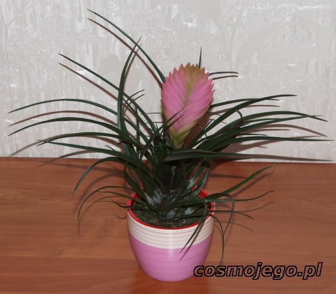 Oplątwa (Tillandsia cyanea)