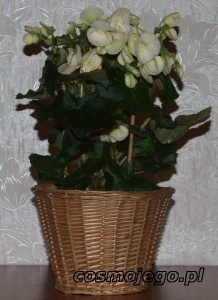 Begonia eliator (Begonia zimowa)