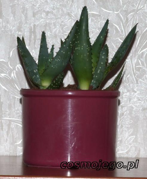 Aloe vera, Aloes zwyczajny