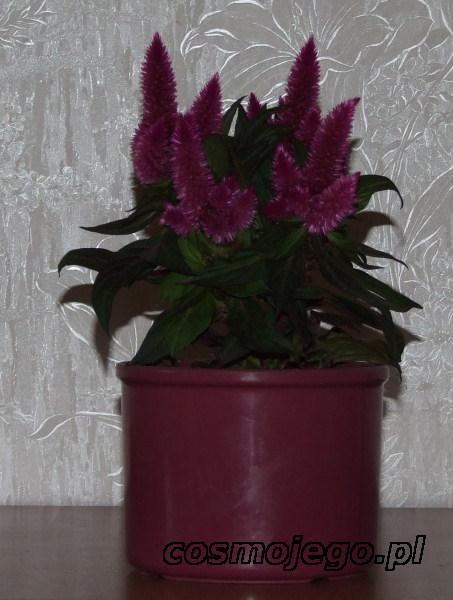 Celozja, grzebionatka, Celosia argentea