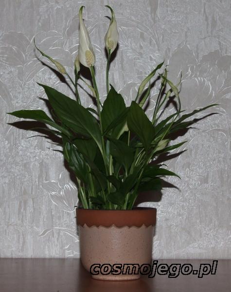 Skrzydłokwiat, Spathiphyllum