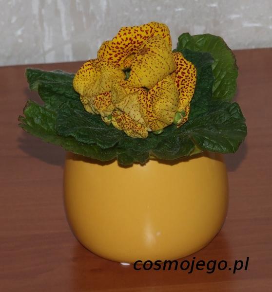 Pantofelnik , Calceolaria , Kalceolaria Kalceolaria mieszańcowa